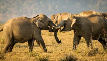 Dhikala - tuskers in action